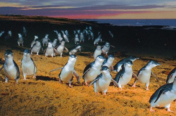 chú chim cánh cụt