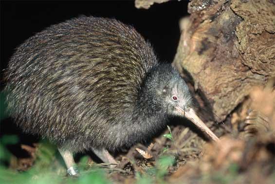 loài chim Kiwi